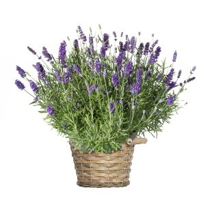 Topf Lavendel