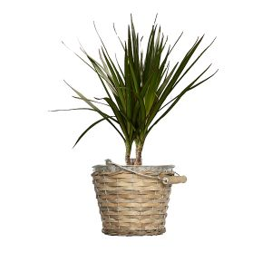 Pflanze Drachenbaum