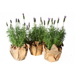 Topfset Lavendel Yard